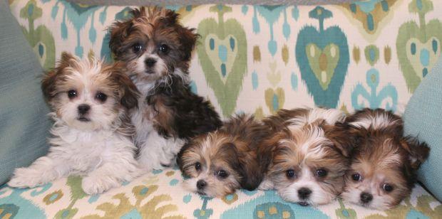 Mi-ki_Puppies_for_Sale_Colorado.jpg