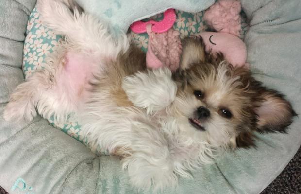 new_mi-ki_puppy_care_royal-t-mi-kis