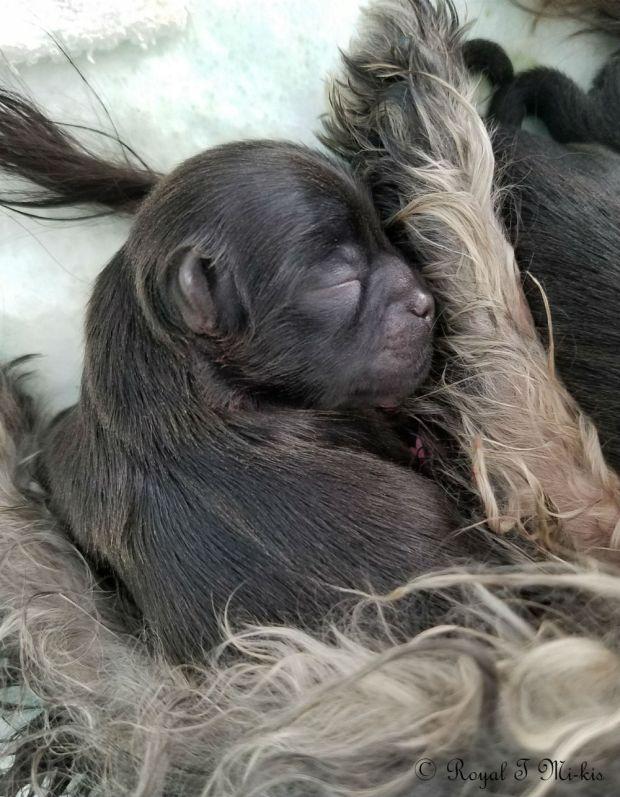 Rayne_newborn_Mi-ki_puppy-Colorado